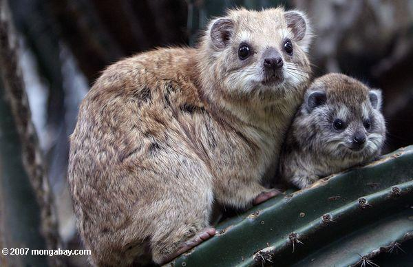 A southern tree hyrax (Dendrohyrax arboreus) with its baby in Kenya's Maasai Mara National Reserve. Although they look like rodents, some scientists consider hyraxes to be the closest living relatives of elephants - a claim others dispute. Photo by Rhett A. Butler.