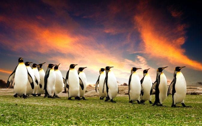 King Penguins in the Falkland Islands via Shutterstock*