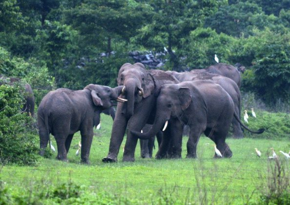 A herd of wild elephants are pictured as they stray close to Kolabari village in Naxalbari, some 50 kms from Siliguri, on June 14, 2014. Indian forest guards along with local villagers used firecrackers to scare away the wild elephants, following sighting of the herd which created unease among local villagers. (Diptendu Dutta/AFP/Getty Images)