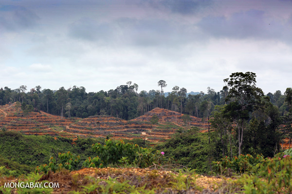Illegal oil palm plantation in Sumatra, Indonesia. Photo by Rhett Butler.