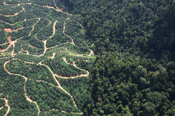 An oil palm plantation abuts natural forest in Borneo. Palm oil production is a major driver of deforestation in Indonesia and Malaysia, and is quickly expanding to many other countries. Photo by Rhett A. Butler.