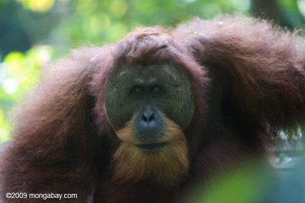 Adult male Sumatran orangutan in Gunung Leuser NP. Photos by Rhett Butler.