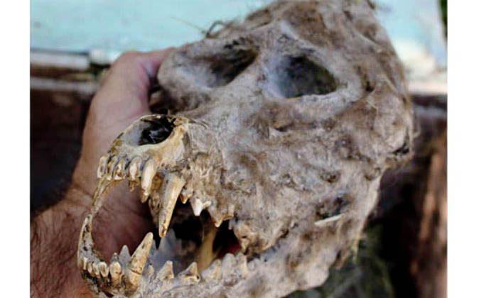 Werewolf-like skull found by a farmer in Macedonia. (Filip Ganev)