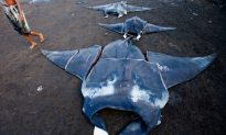 Black Market Manta Ray Bust in Indonesia