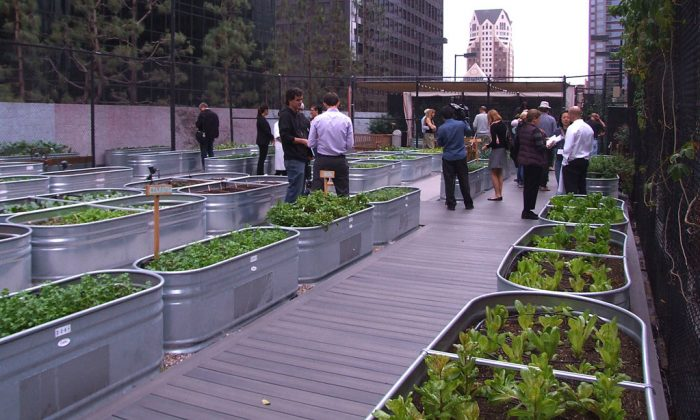 A rooftop garden on the Jonathan Club building in downtown Los Angeles on Nov. 11, 2014. The garden was built by Jason McClain, the executive chef of the Jonathan Club, and the produce is used at the club's restaurant. (Sarah Le/Epoch Times)