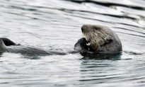 Threats to Southern Sea Otters Taking a Toll on Population Growth