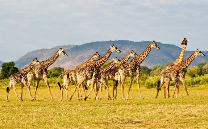 A stock photo of giraffes (Shutterstock)