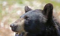 The Return of the Black Bears