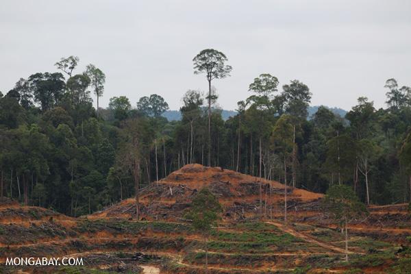 Illegal deforestation for oil palm within the Leuser Ecosystem. Photo by Rhett Butler.