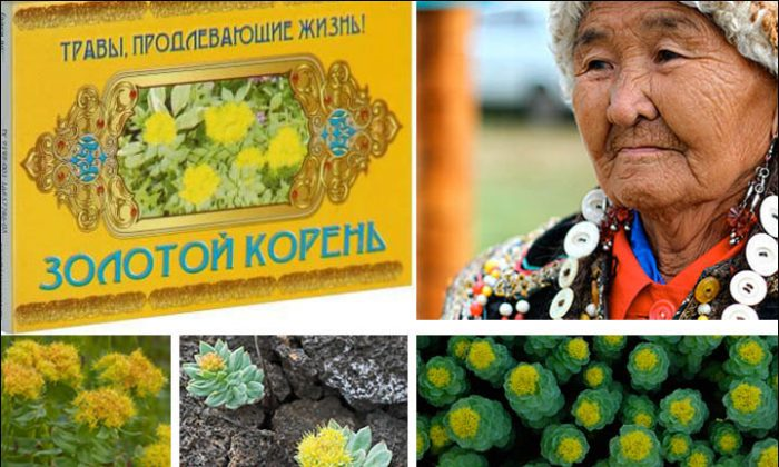 Images of golden root and an elderly Siberian lady. The benefits of golden rod long known in Russian folk medicine are now being proven in tests and spreading around the world. (The Siberian Times)
