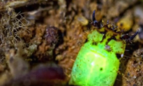 Mysterious Glow Worms Found in the Amazon (Video)