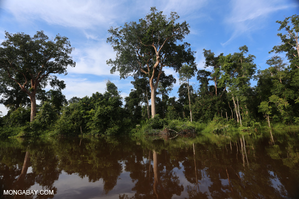 Peat forest in Central Kalimantan, Indonesia. Photos by Rhett Butler.