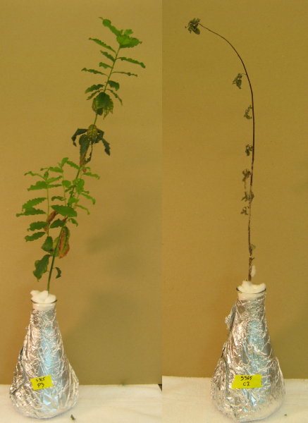 Willow cuttings without the treatment ceased growing, lost leaves and died when grown in solution with phenanthrene. Those that were treated with microbes from eastern cottonwood trees thrived. (Sharon Doty Lab/U of Washington)