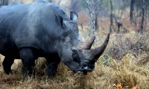 To Date 1,020 Rhinos Killed in South Africa