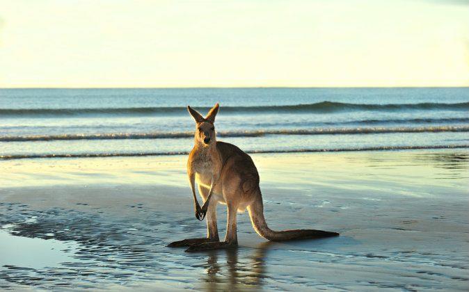 Kangaroo via Shutterstock*