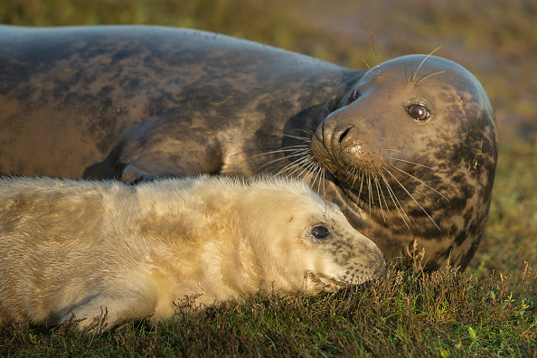A Grey Seal pup and it's mother lay in the grass at the Lincolnshire Wildlife Trust's Donna Nook nature reserve on November 24, 2014 in Grimsby, England. (Dan Kitwood/Getty Images)