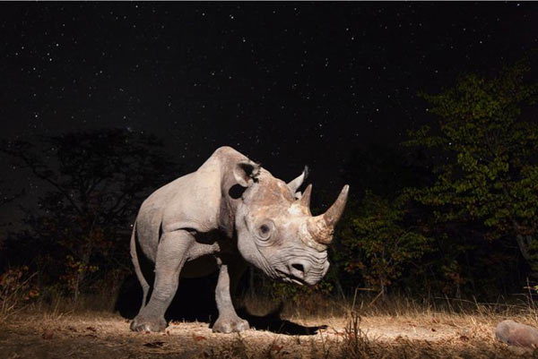 Overall winner of the photography categories and Animal Portraits winner: Black rhino, Zambia. Photo by: Will Burrard-Lucas.