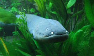 How Electric Eels Use Shocks to 'Remote Control' Other Fish