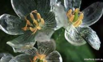 'Skeleton Flower' Becomes Transparent With Rain (Video)