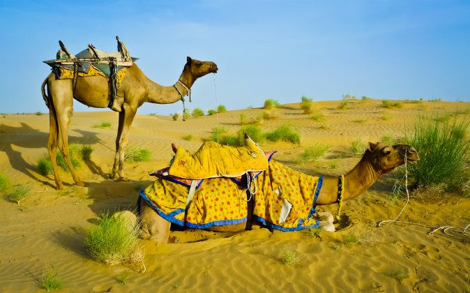 two camels in the desert near Jaisalmer, Rajasthan, India via Shutterstock*
