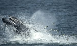 Biologist Reveals How Whales May 'Sing' for Their Supper