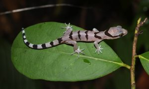 New Gecko Species Discovered In Thailand