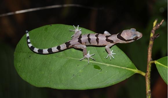 juvenile Sai Yok bent-toed gecko (Cyrtodactylus saiyok). Photo by N. Panitvong.