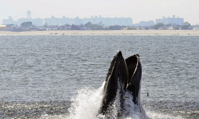A humpback whale breaks through the surface of the Atlantic Ocean just off a beach on the Rockaway peninsula near New York City in June 2014. Humpbacks have been approaching the city in greater numbers than in many years; there were 87 sightings in nearby waters from a whale-watching boat in 2014. (AP Photo/Gotham Whale/Dennis Guiney)