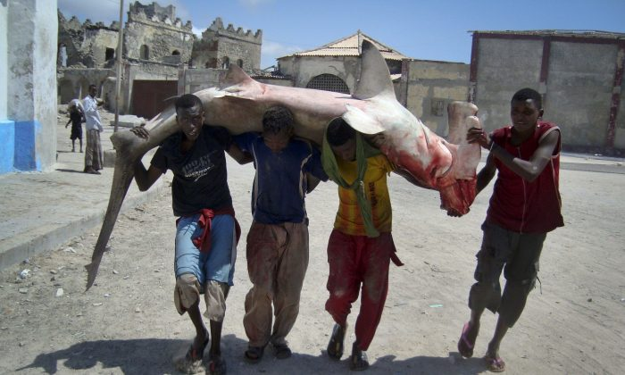 Fishermen carry a hammerhead shark to market in Mogadishu, Somalia. Some shark species are threatened because their fins are used to make expensive delicacies in Asia. Recently released documents indicate the Canadian government has reservations about restricting international trade in endangered species. (AP Photo/Farah Abdi Warsameh)