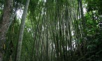Bamboo Could Help Fight Global Warming