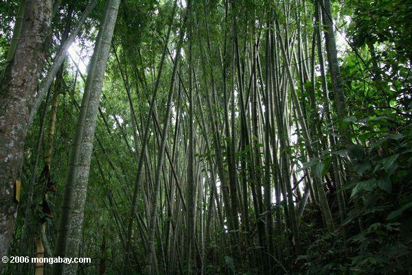 A bamboo forest in Colombia. Photo by Rhett A. Butler.