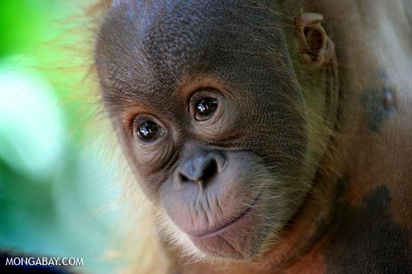 Baby Sumatran orangutan. Photos by Rhett A Butler.