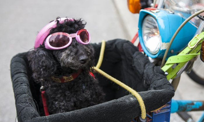 A dog sitting in a scooter in Manhattan, N.Y., on April 1, 2014. New York State passed a law on Monday, December 15, 2014 prohibiting pet owners from giving their animals cosmetic tattoos or piercings. (Samira Bouaou/Epoch Times)