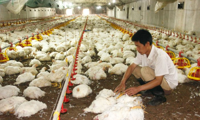A chicken farmer in China's Shaanxi province picks dead chickens out of the live ones on July 3 in his henhouse. Chickens processed in China were banned from U.S. public school lunches in the proposed federal budget. (ChinaFotoPress/Getty Images)