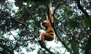 Island Gibbons Endangered as Forest Disappears