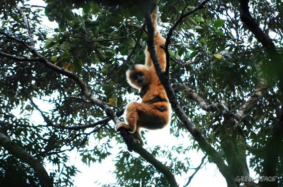 A female Hainan gibbon (Nomascus hainanus), one of the last of her kind. Photo courtesy of Greenpeace.
