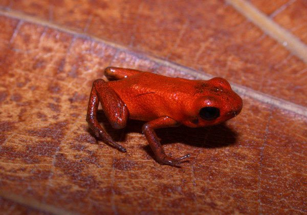 The holotype specimen, which scientists used as the basis to describe a new species of poison dart frog: Andinobates geminisae. Photo by: Cesar Jaramillo, STRI.