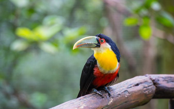 Toucan, National park Iguazu, Brazil via Shutterstock*