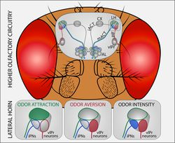 The quality and intensity of an odor are represented in three different activity domains in the lateral horn of the fly brain. Pleasant odors activate the green region, disgusting odors activate the red area. The blue and red regions represent the intensity of an odor. (Silke Sachse/ MPI Chem. Ecol.)