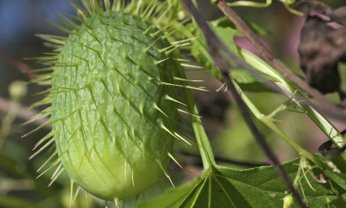 The compounds that make wild cucumbers taste bitter have been shown to kill or suppress the growth of cancer cells. (bkkm/iStock/Thinkstock)