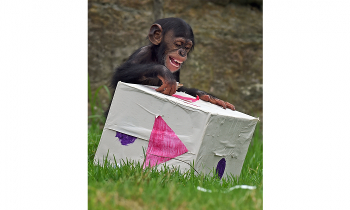 Fumo, a 15-month-old chimpanzee, opens one of his Christmas presents in Sydney on Dec. 9, 2014. (William West/AFP/Getty Images)