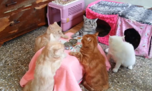 Taiwanese Cats Enjoy a Game of Cards (Video)