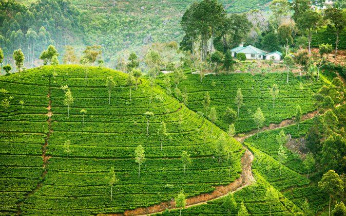 Green fields of tea in Sri Lanka via Shutterstock*