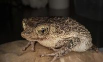 Puerto Rican Toad Recovers from Brink of Extinction