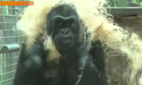World's Oldest Gorilla in Captivity Is 58 Years Young (Video)