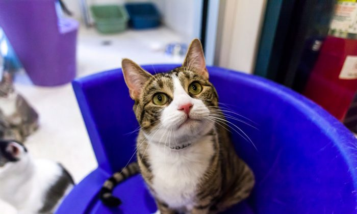 """Robbie, a 2-year-old male domestic shorthair tabby with a """"personal assistant"""" feline personality, at the ASPCA adoption center in Manhattan, N.Y., on Aug. 28, 2014. (Courtesy of ASPCA)"""