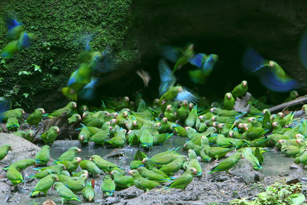 Cobalt-winged parakeets (Brotogeris cyanoptera) at a clay lick in Yasuni National Park in the Ecuadorian Amazon. Photo by: Jeremy Hance.