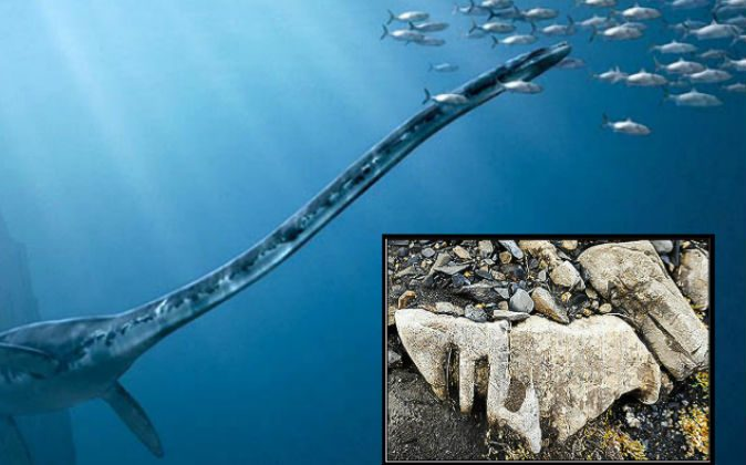 Background: A depiction of the plesiosaurus. (Animal Reader) Right: The fossil found by  Andrey Turyakov on Wrangle Island in Russia. (Andrey Turyakov)