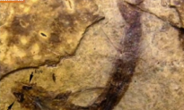 300-Million-Year-Old Fossil Reveals Fish Saw in Color (Video)