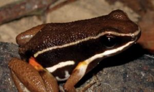 Little Frog in Brazil Helps Conservation of Rainforest